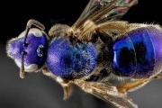 زنبورهای شیشه ای عجیب +عکس