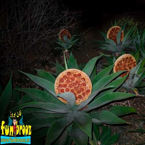 بوته های پیتزا !