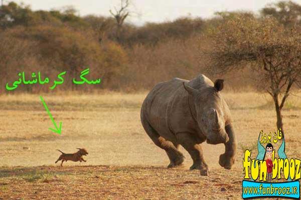 سگ کرمانشاهی !!!!